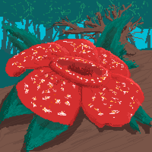 Rafflesia THE BIGGEST FLOWER IN THE WORLD
